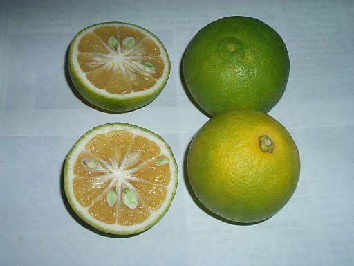 Citrus Sphaerocarpa – Kabosu (plant) QLD ONLY!