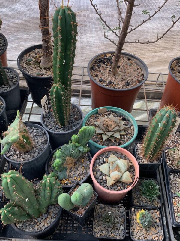 Assorted Cacti Package (6 Cacti)