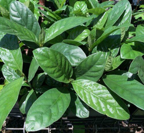Psychotria Cv. 'DW24' (plant)