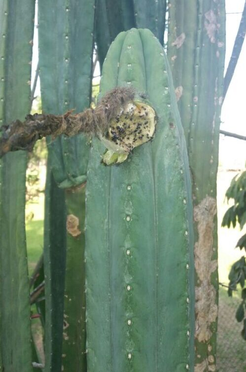 Trichocereus Pachanoi 'Ayni' (cactus)