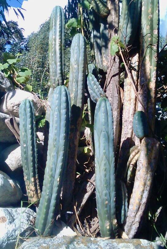 Trichocereus Santaensis 'Anra' (cactus)