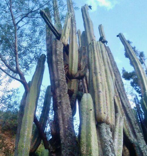 Trichocereus Santaensis 'Mal Paso' (cactus)