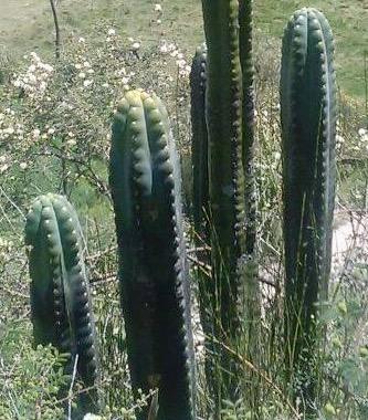 Trichocereus Santaensis 'Tarica' (cactus)
