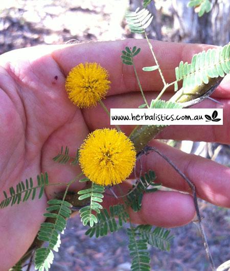 Acacia Farnesiana – Sweet Acacia (seed)