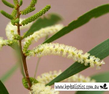Acacia Maidenii – Maiden's Wattle (seed)