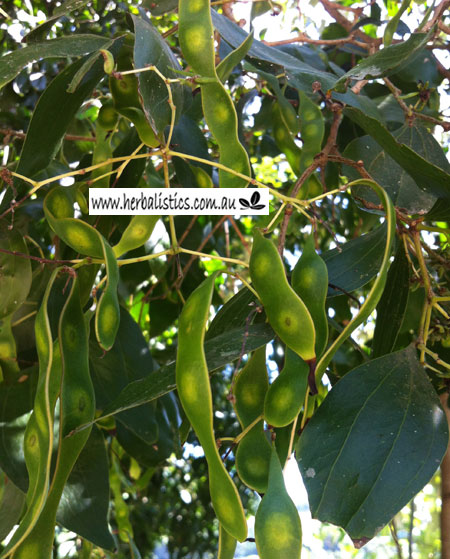 Acacia Bakeri – Marblewood (plant)