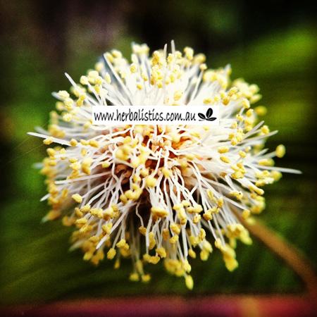 Anadenanthera peregrina flower