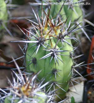 Trichocereus Sp. 'Andacollo' (seed)