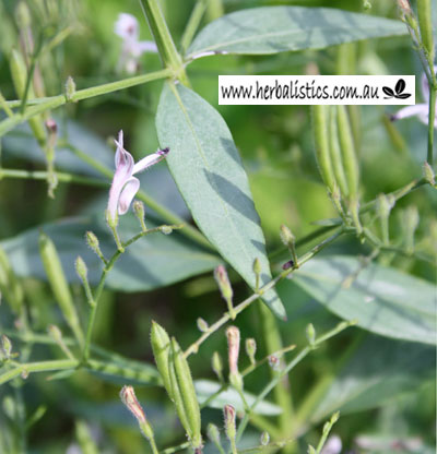 Andrographis Paniculata – King Of Bitters (seed)
