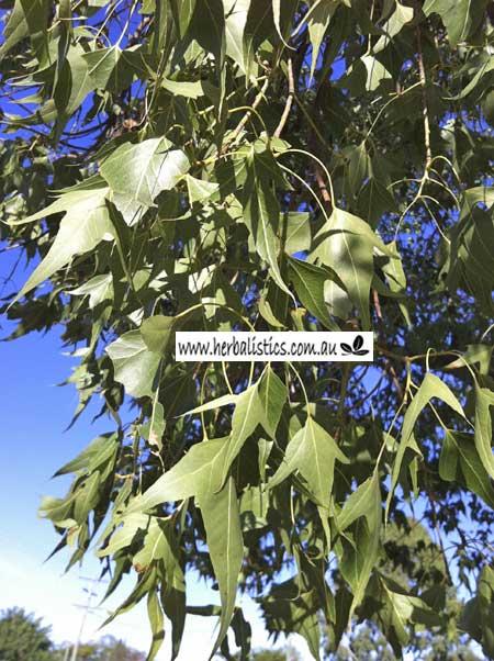 Brachychiton Populous Ssp. Trilobus – Kurrajong (plant)