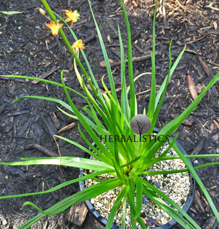Bulbine Frutescens – Burn Jelly Plant (plant)