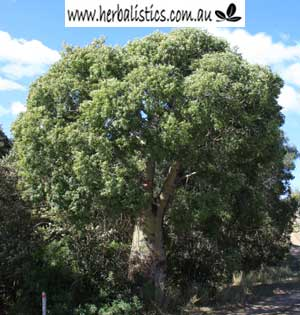 Brachychiton Rupestris – Qld Bottle Tree (seed)
