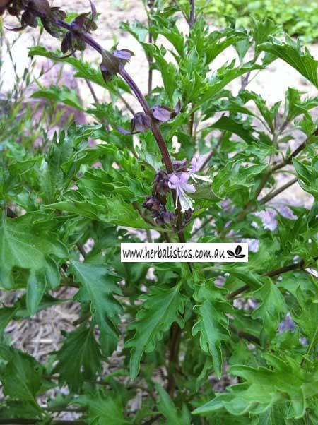 Ocimum Basilicum – Mrihani Basil (seed)