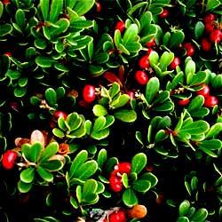 Bearberry (Arctostaphylos Uva-ursi) 10g