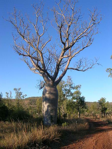 Adansonia Gregorii – Boab (seed)