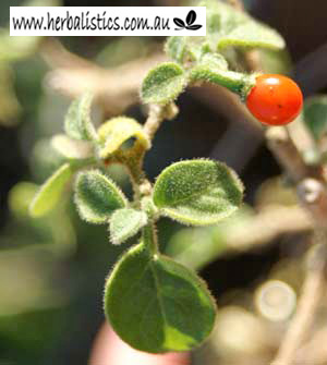 Capsicum Galapagoense – Galapagos Island Chilli (plant)