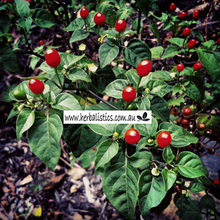 Capsicum Annuum Var. Glabriusculum 'Chile Pequin' (seed)