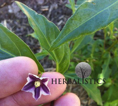 Capsicum Lanceolatum – Wild Chilli (plant)