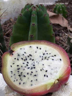 Cereus Peruvianus (seed)