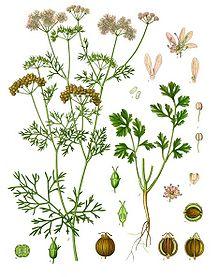 Coriandrum Sativum – Coriander (seed)
