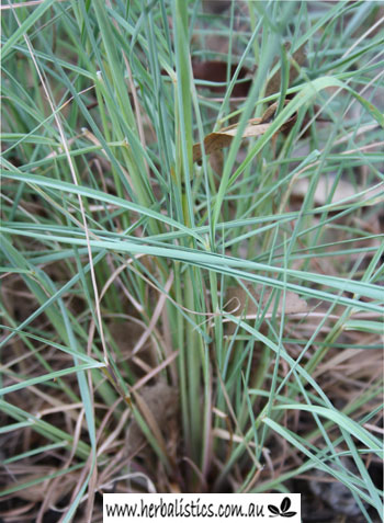 Cymbopogon Refractus – Native Lemon Grass (plant)