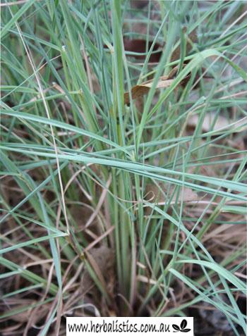 Cymbopogon Obtectus – Silkyheads (seed)
