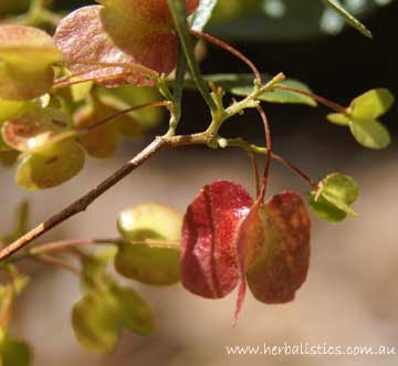 Dodonaea Viscosa Ssp Angustifolia – Narrow-leaf Hop-bush (seed)