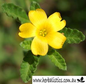 Turnera Diffusa – Damiana (plant)