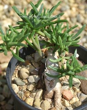 Delosperma Bosseranum (plant)