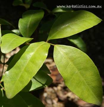 Dinosperma Erythrococcum – Tingletongue (plant)