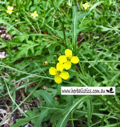 Diplotaxis Tenuifolia – Wild Rocket (seed)