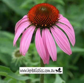 Echinacea Purpurea – Purple Coneflower (seed)