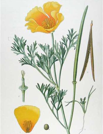 Eschscholzia Californica – Californian Poppy (seed)