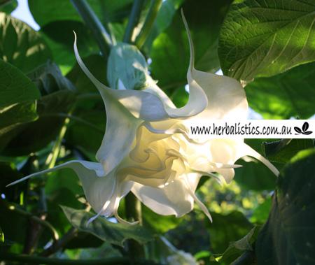Brugmansia Cv. Fluffy Wuffy Ruffles (plant)