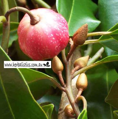 Galbulimima Leaf (Galbulimima Baccata) 10g