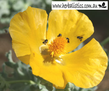 Glaucium Flavum – Yellow Horned Poppy (seed)