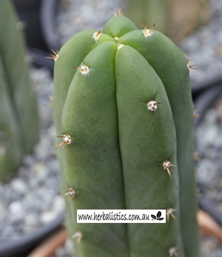 Trichocereus 'HB05' (cactus)