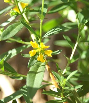 Heimia Salicifolia – Sinicuichi (seed)