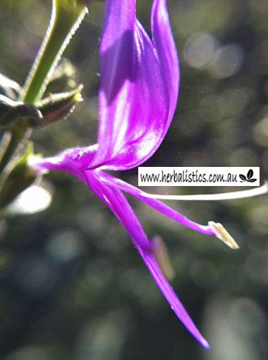 Hypoestes Floribunda (seed)