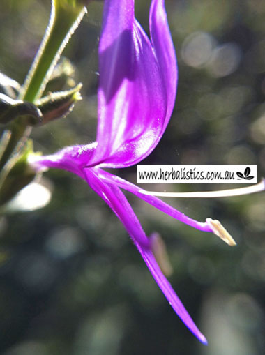 Hypoestes floribunda