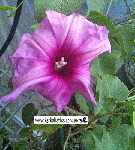 Ipomoea Costata – Desert Potato (plant)