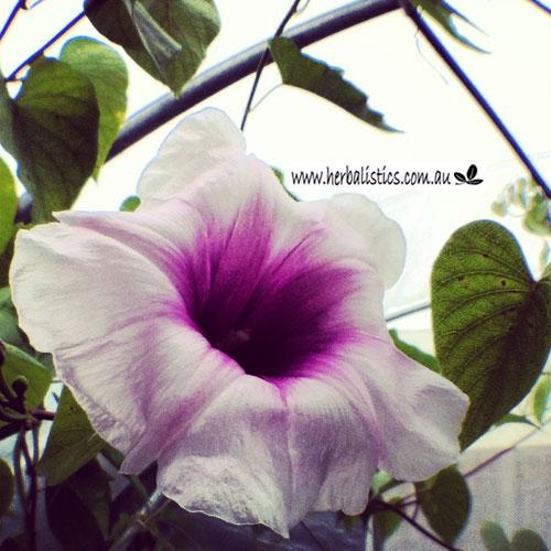 Ipomoea Abrupta – Native Yam (plant)