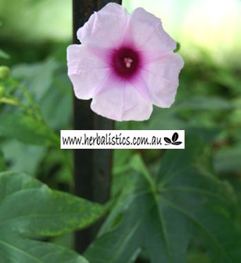 Ipomoea Mauritiana – Giant Potato (plant)