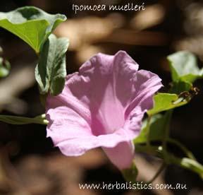 Ipomoea Muelleri – Poison Morning Glory (seed)