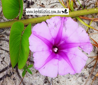 Ipomoea Pes-caprae Ssp. Brasiliensis (seed)