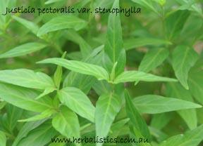 Justicia Pectoralis Var. Stenophylla – Mashi Hiri (plant)