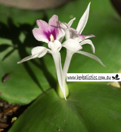 Kaempferia Galanga – Kencur (plant)