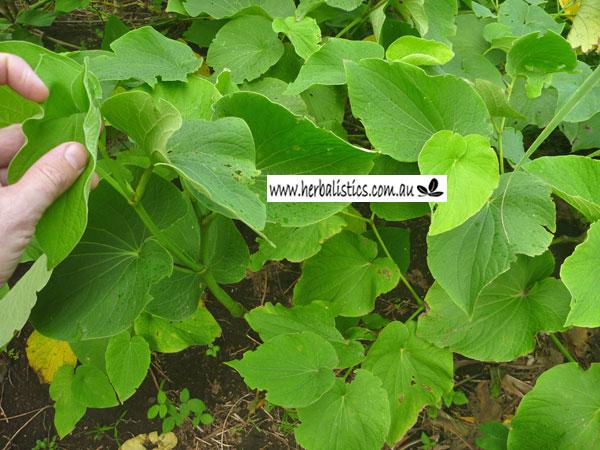 Piper Methysticum – Kava (plant)
