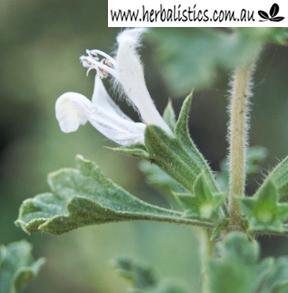 Lagochilus Inebrians – Turkestan Mint (seed)