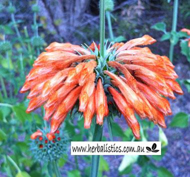 Leonotis Nepetaefolia – Wild Dagga (seed)